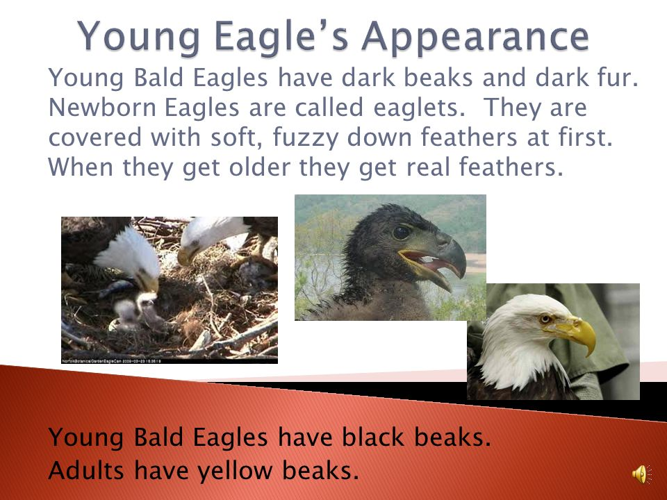 Young Eagle's Appearance