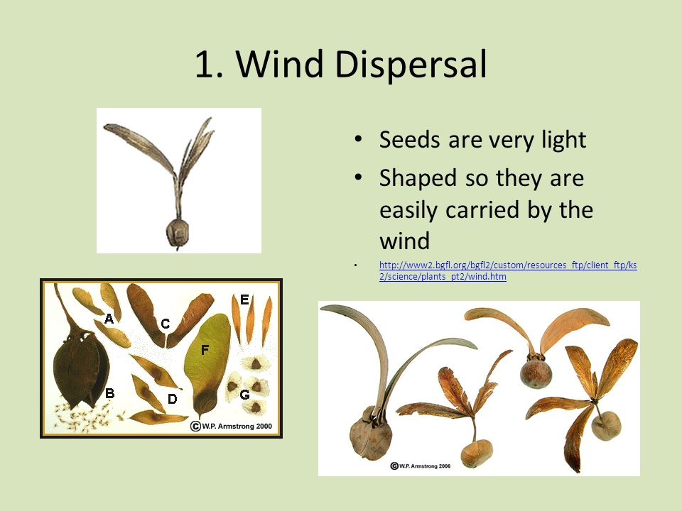 1. Wind Dispersal Seeds are very light