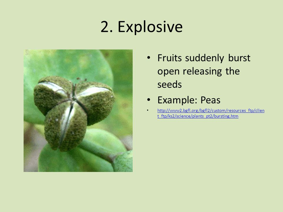 2. Explosive Fruits suddenly burst open releasing the seeds
