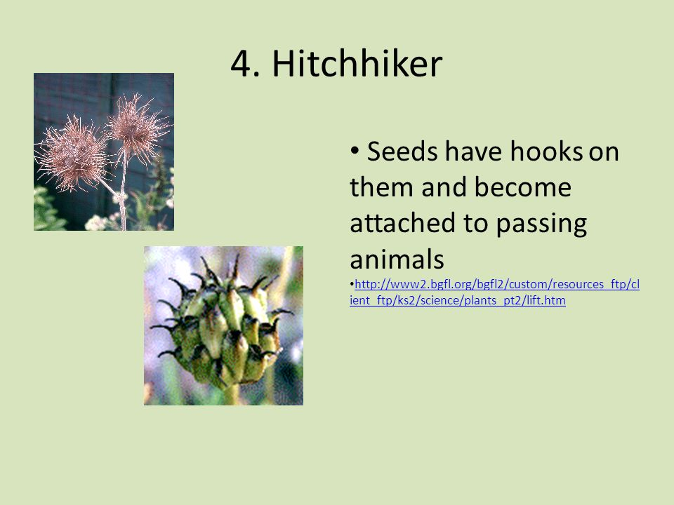 4. Hitchhiker Seeds have hooks on them and become attached to passing animals.
