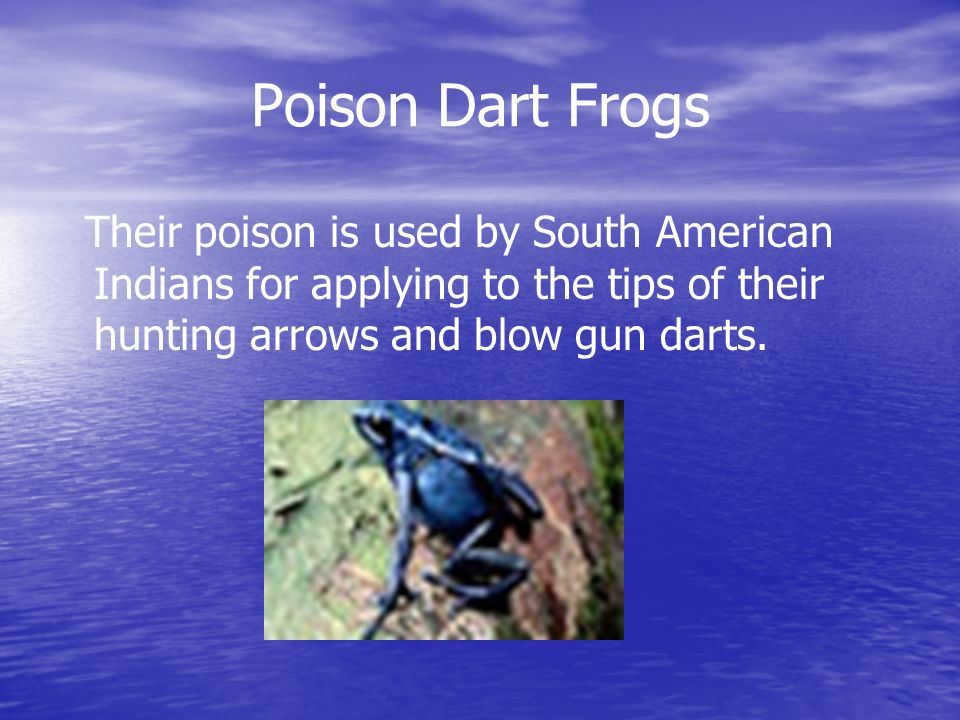 Poison Dart Frogs Their poison is used by South American Indians for applying to the tips of their hunting arrows and blow gun darts.
