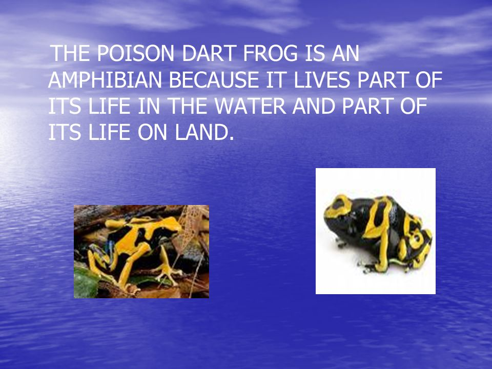 THE POISON DART FROG IS AN AMPHIBIAN BECAUSE IT LIVES PART OF ITS LIFE IN THE WATER AND PART OF ITS LIFE ON LAND.