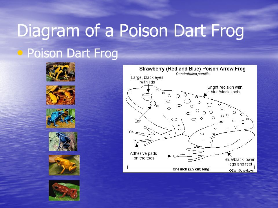 Diagram of a Poison Dart Frog