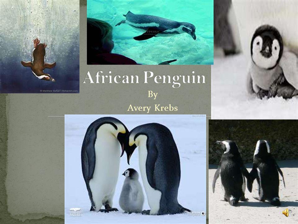 African Penguin By Avery Krebs