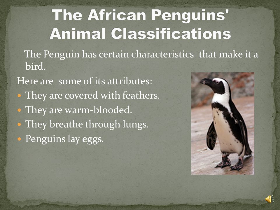 The African Penguins Animal Classifications