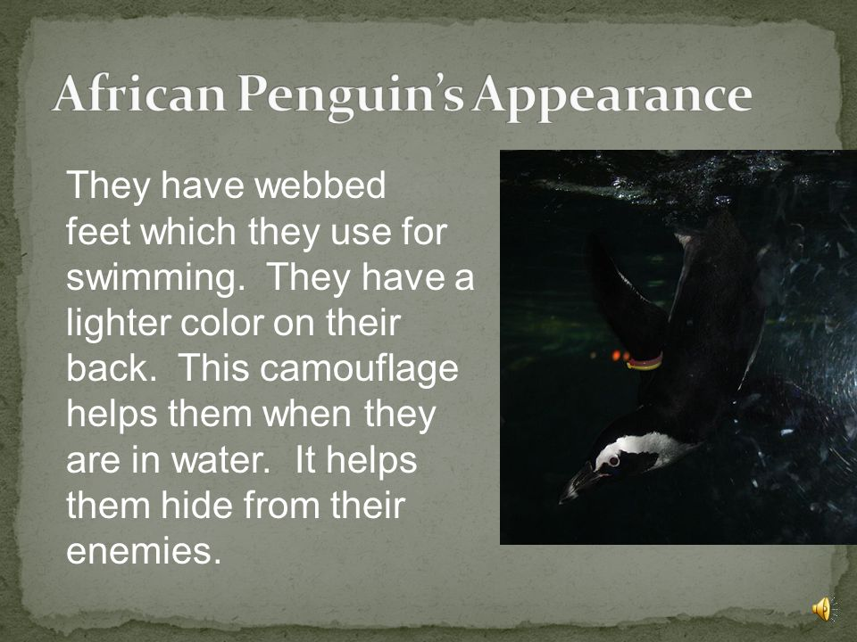 African Penguin's Appearance