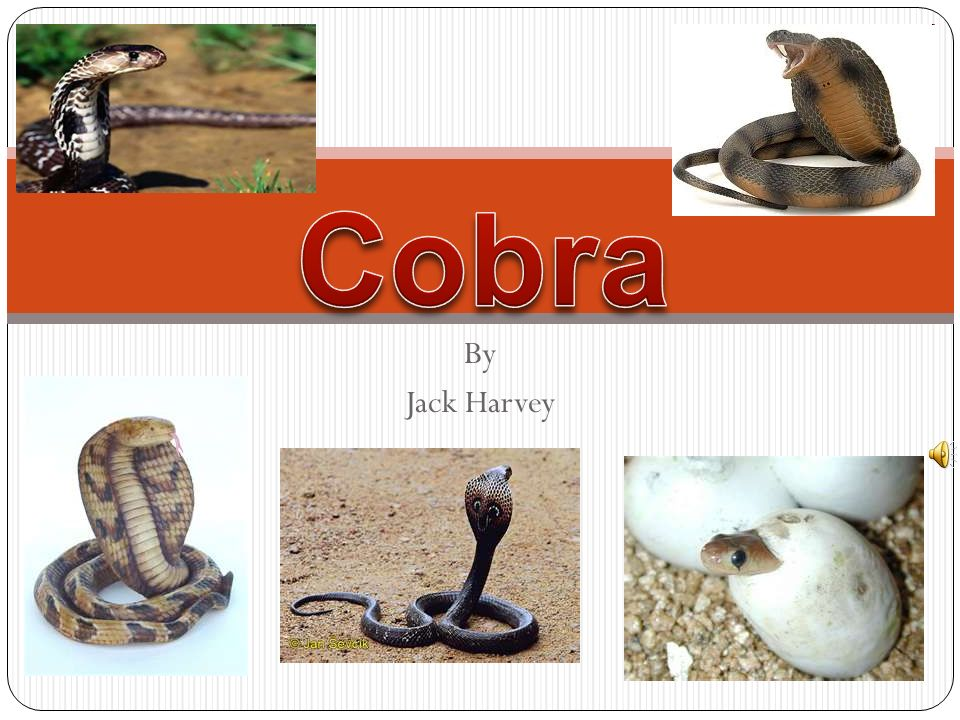 Cobra By Jack Harvey