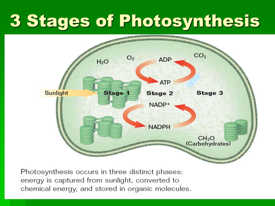 the stages of photosynthesis Photosynthesis is the process of using sunlight energy and chlorophyll to  produce  the atp is passed onto the next stage of photosynthesis - the dark  stage.