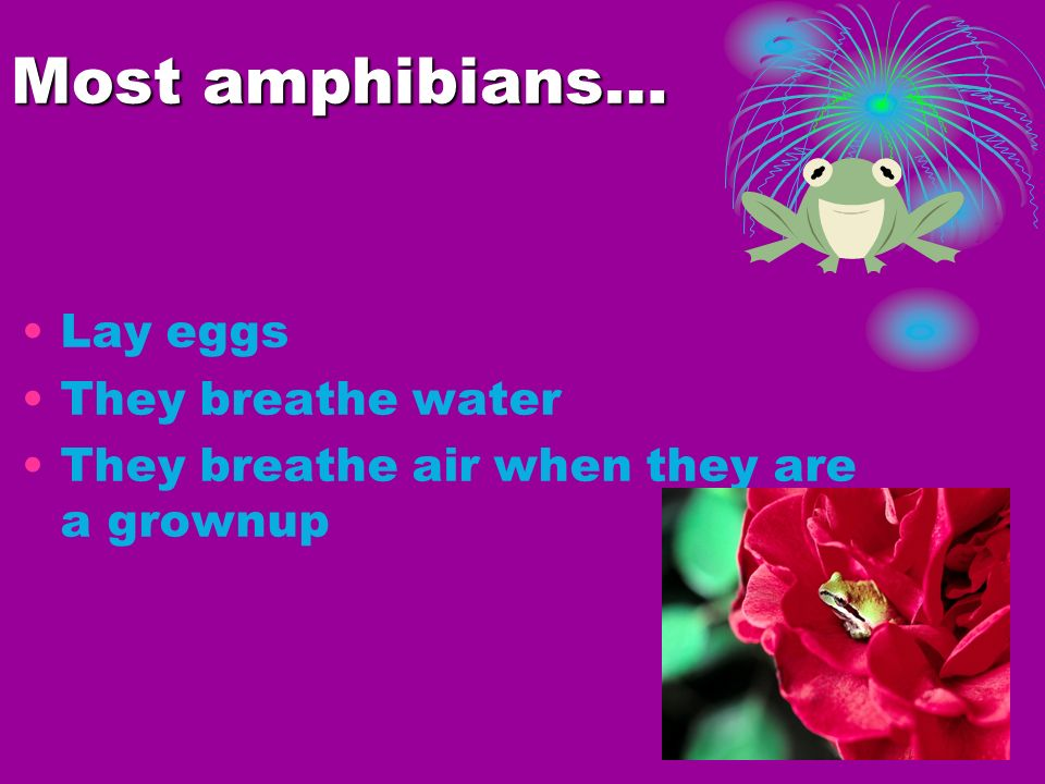 Most amphibians… Lay eggs They breathe water