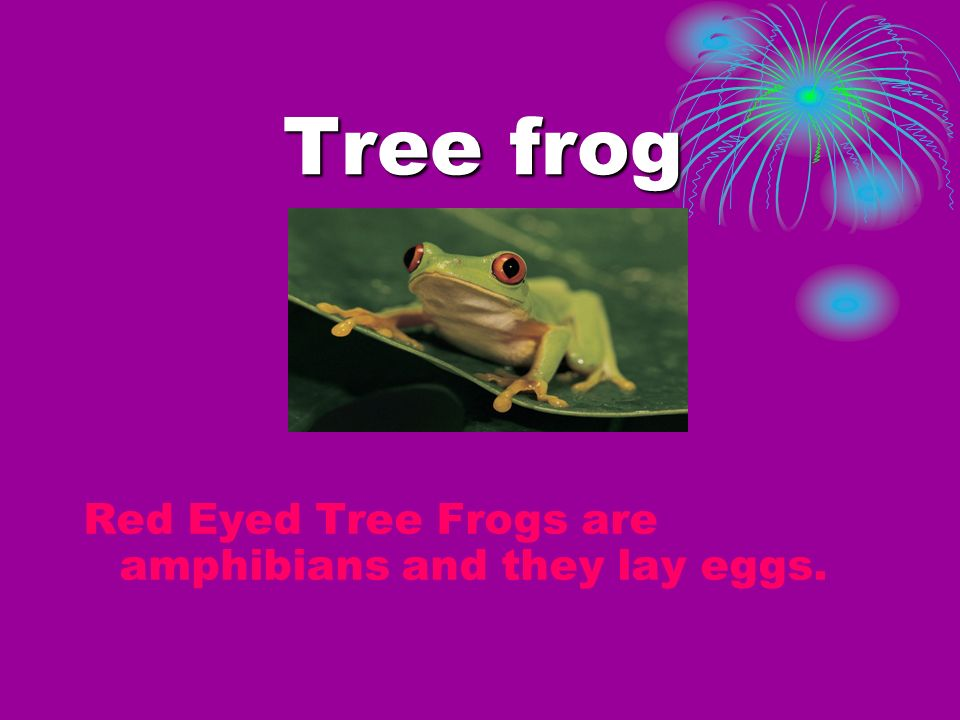 Tree frog Red Eyed Tree Frogs are amphibians and they lay eggs.