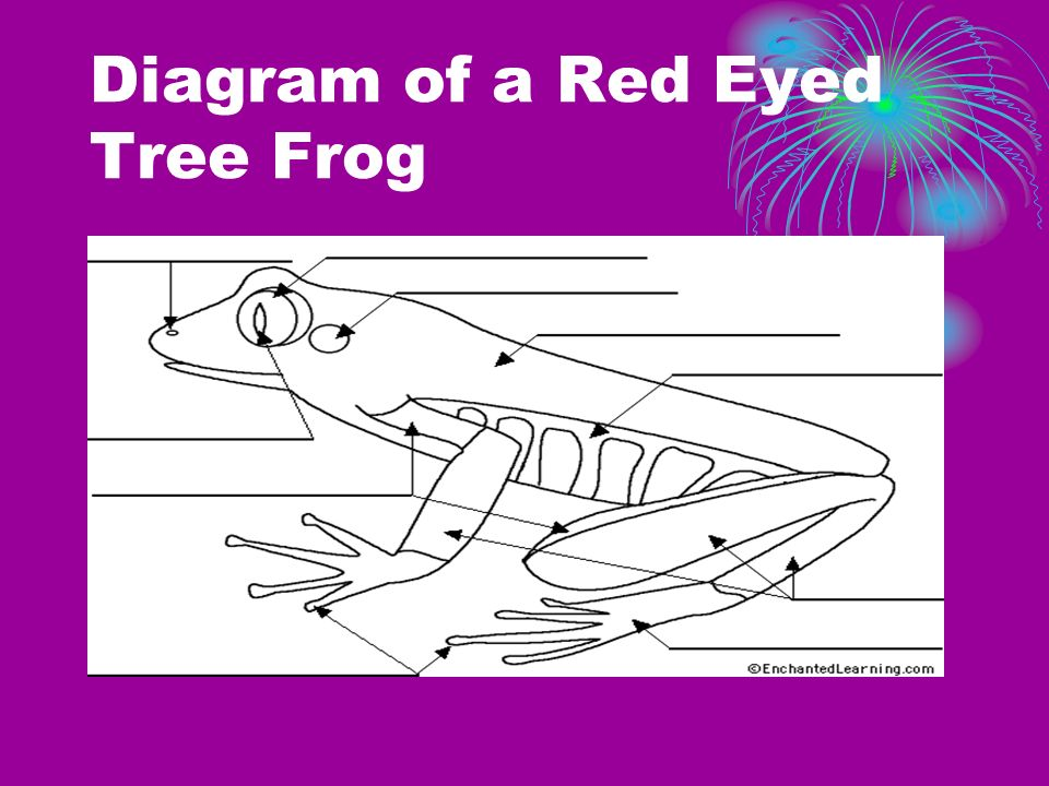 Diagram of a Red Eyed Tree Frog