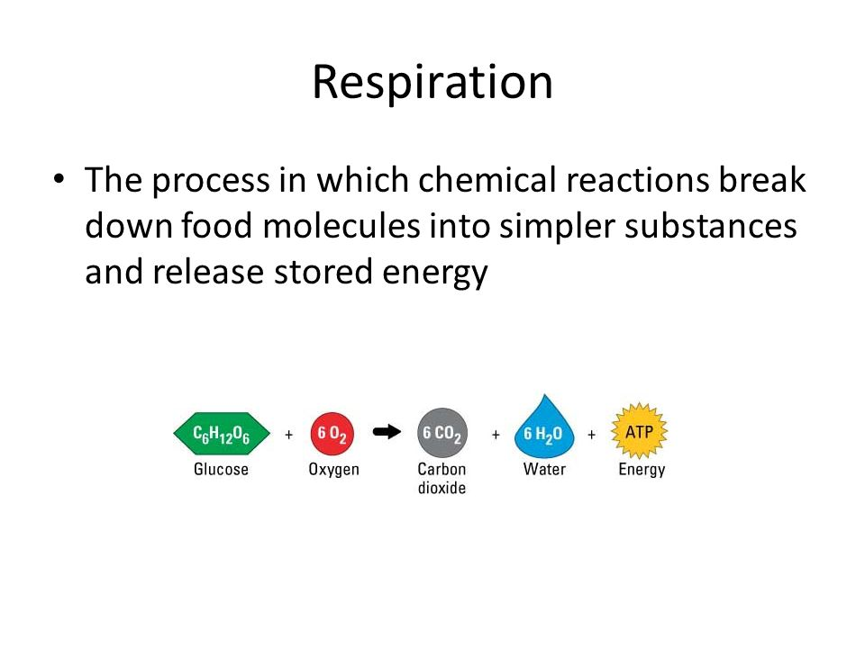 Respiration The process in which chemical reactions break down food molecules into simpler substances and release stored energy.