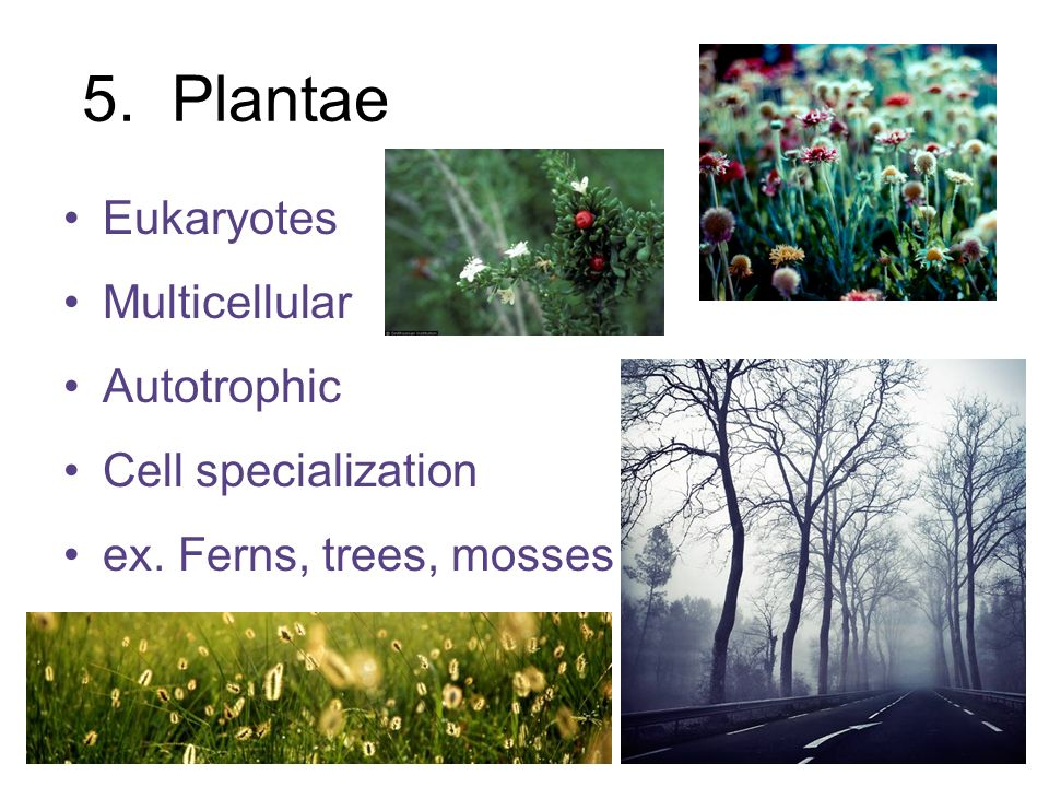 5. Plantae Eukaryotes Multicellular Autotrophic Cell specialization