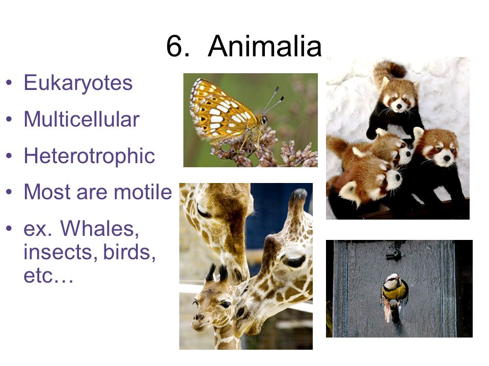 6. Animalia Eukaryotes Multicellular Heterotrophic Most are motile