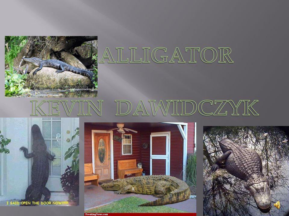 ALLIGATOR KEVIN DAWIDCZYK