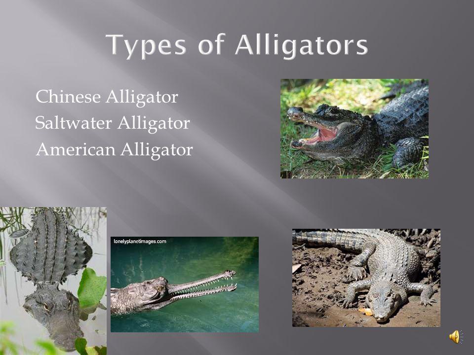Types of Alligators Chinese Alligator Saltwater Alligator