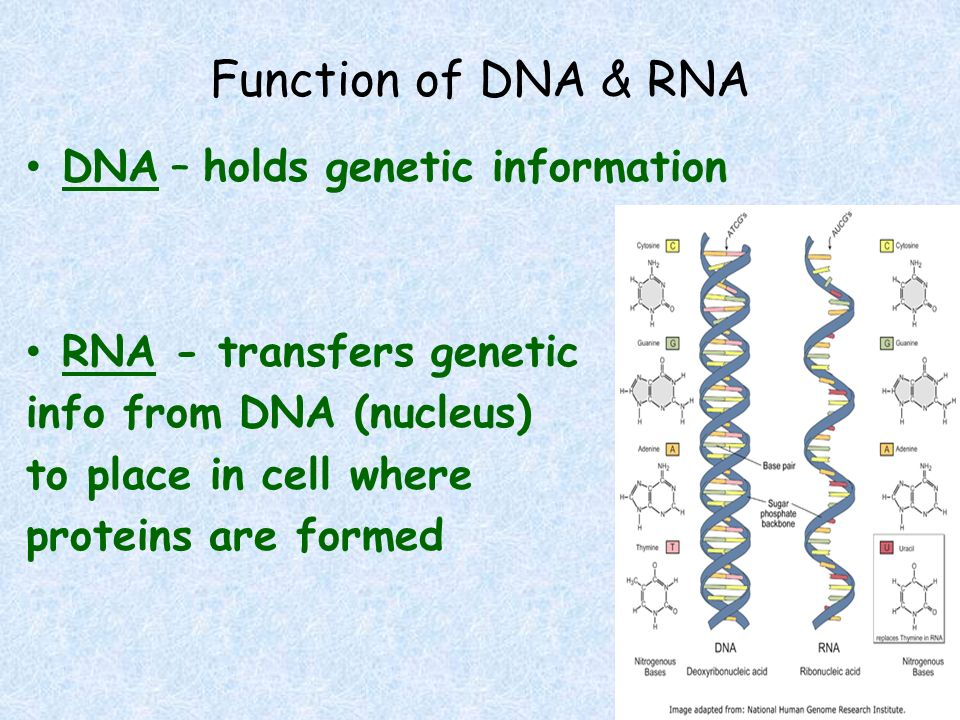Function of DNA & RNA DNA – holds genetic information