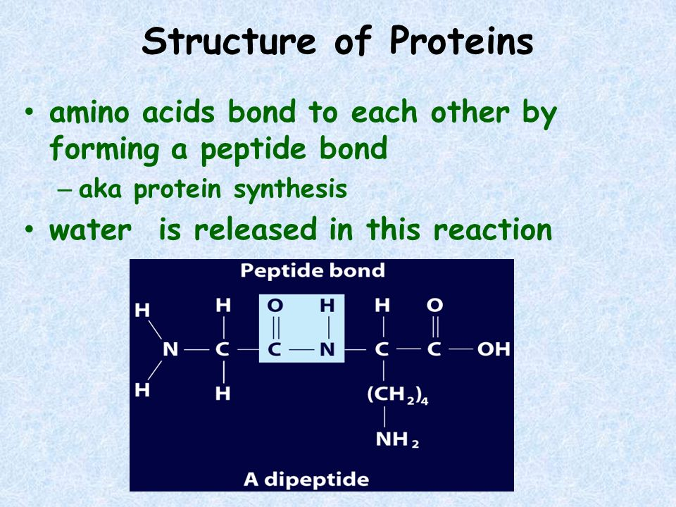 Structure of Proteins amino acids bond to each other by forming a peptide bond. aka protein synthesis.