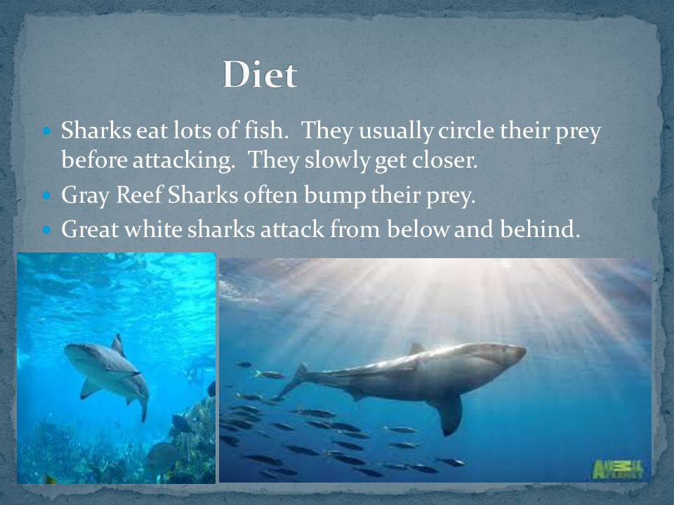 Diet Sharks eat lots of fish. They usually circle their prey before attacking. They slowly get closer.