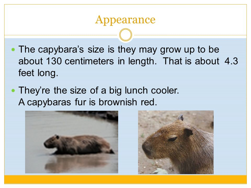 Appearance The capybara's size is they may grow up to be about 130 centimeters in length. That is about 4.3 feet long.