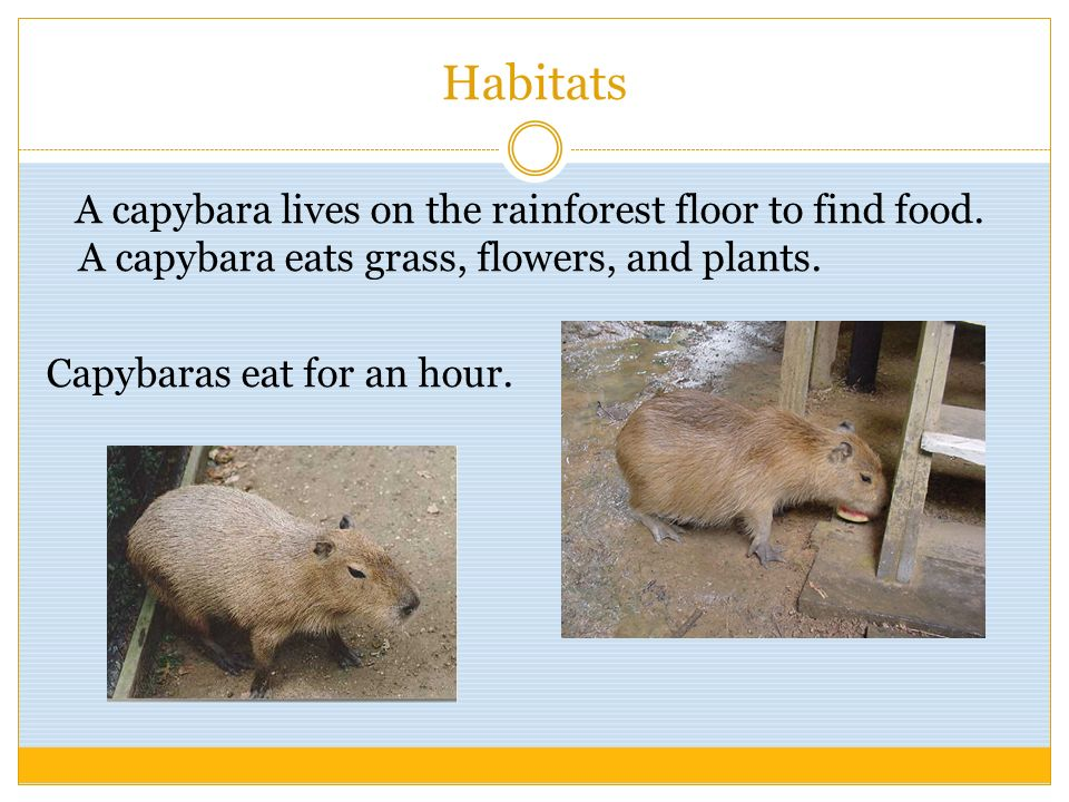 Habitats A capybara lives on the rainforest floor to find food.