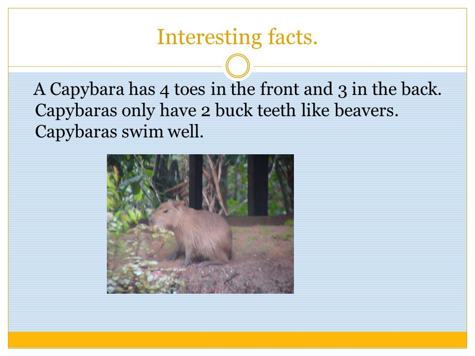 Interesting facts. A Capybara has 4 toes in the front and 3 in the back.