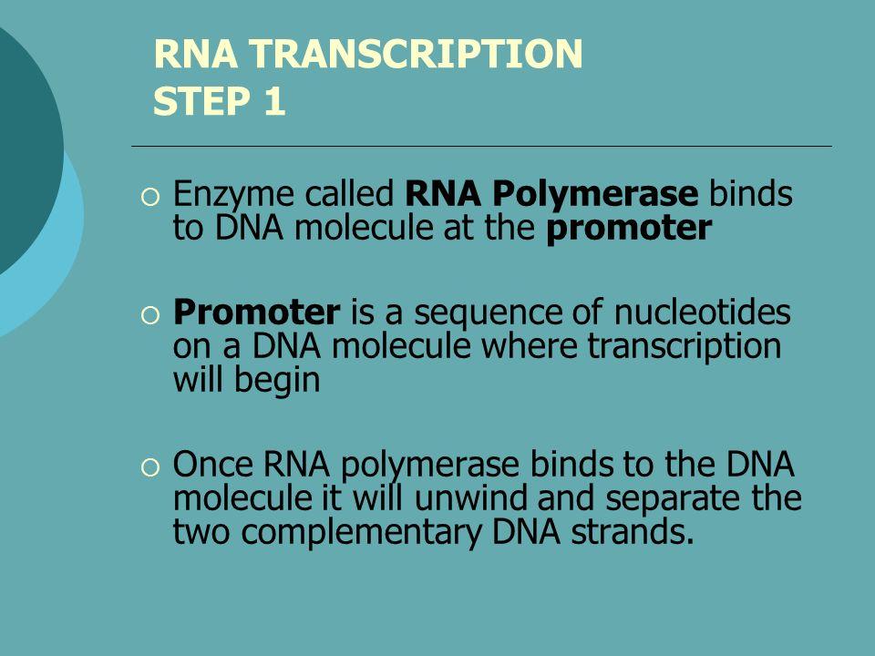 RNA TRANSCRIPTION STEP 1