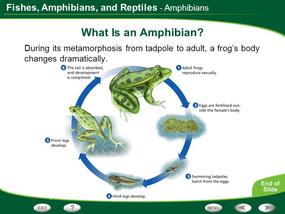 What Is an Amphibian - Amphibians