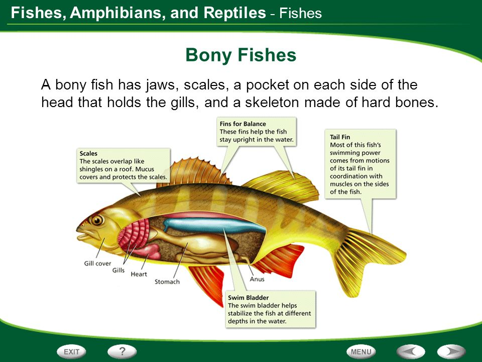 - Fishes Bony Fishes.