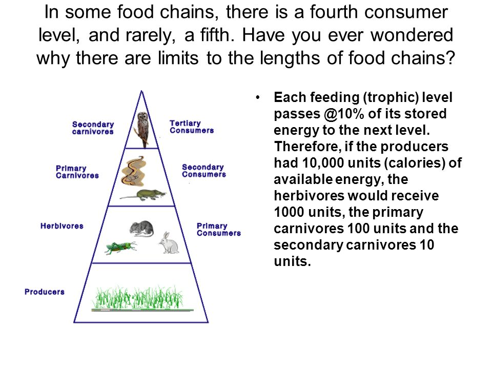 In some food chains, there is a fourth consumer level, and rarely, a fifth. Have you ever wondered why there are limits to the lengths of food chains