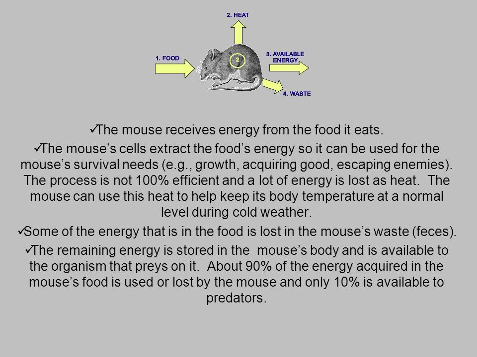 The mouse receives energy from the food it eats.