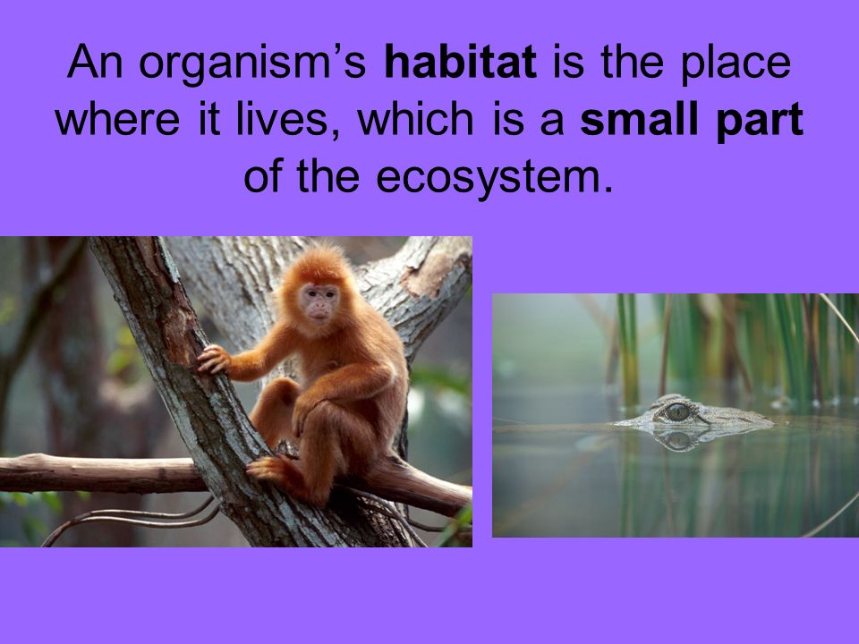 An organism's habitat is the place where it lives, which is a small part of the ecosystem.