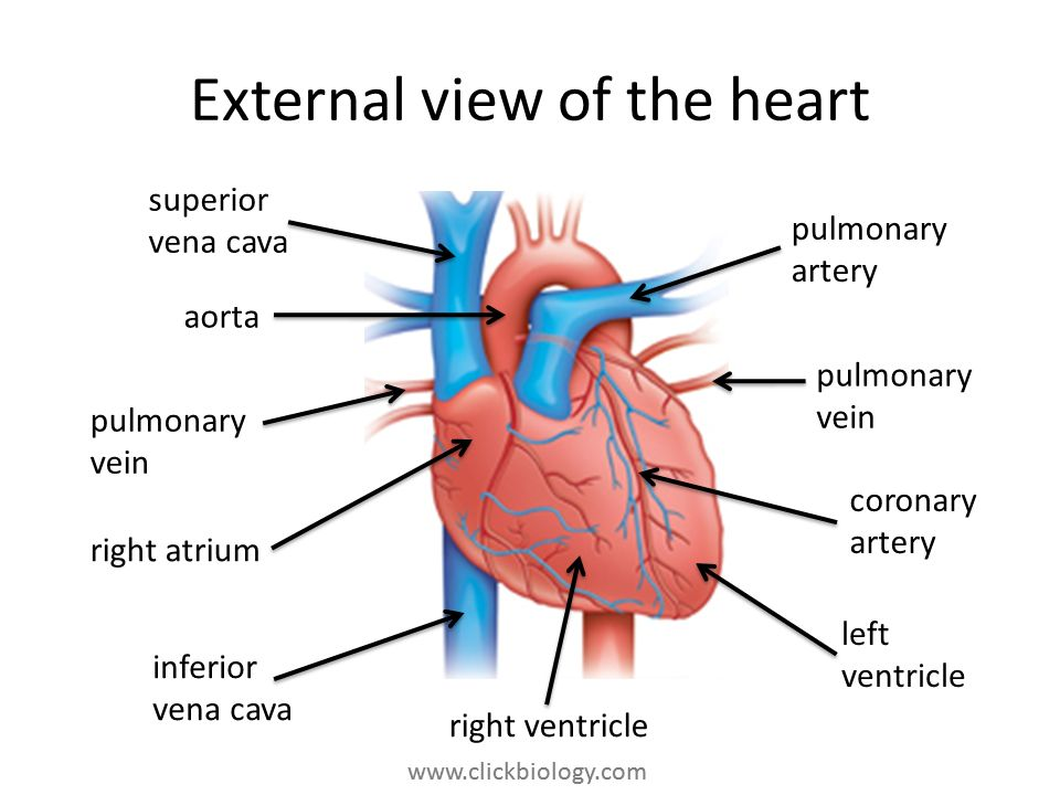 External view of the heart
