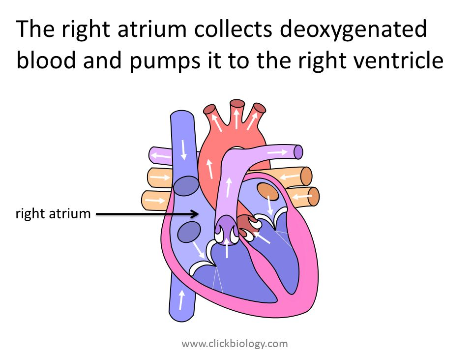 The right atrium collects deoxygenated blood and pumps it to the right ventricle