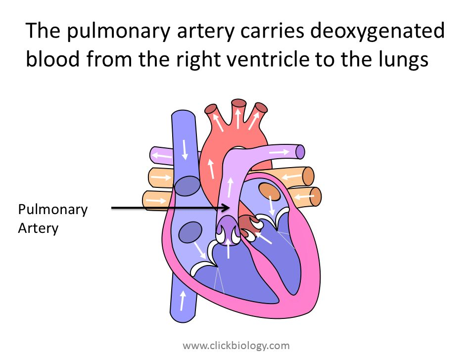 The pulmonary artery carries deoxygenated blood from the right ventricle to the lungs