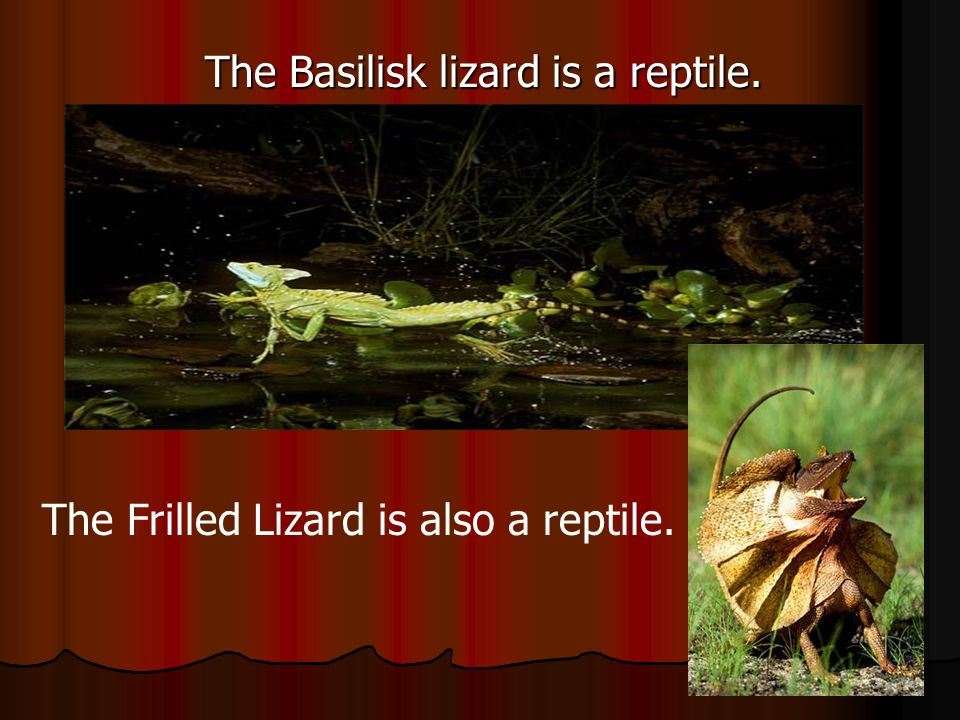 The Basilisk lizard is a reptile.