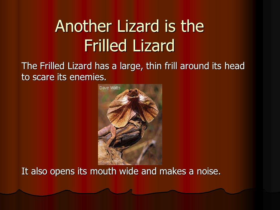 Another Lizard is the Frilled Lizard
