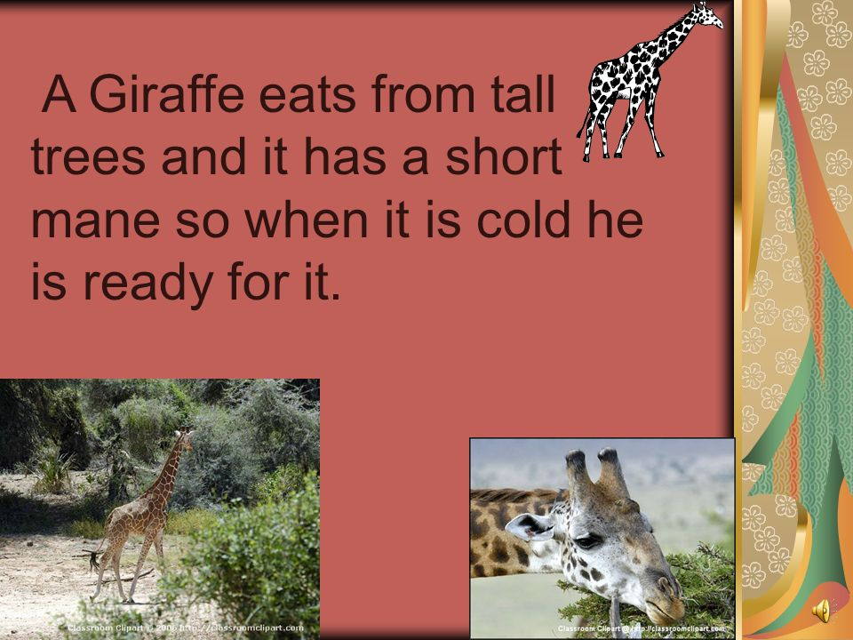 A Giraffe eats from tall trees and it has a short mane so when it is cold he is ready for it.