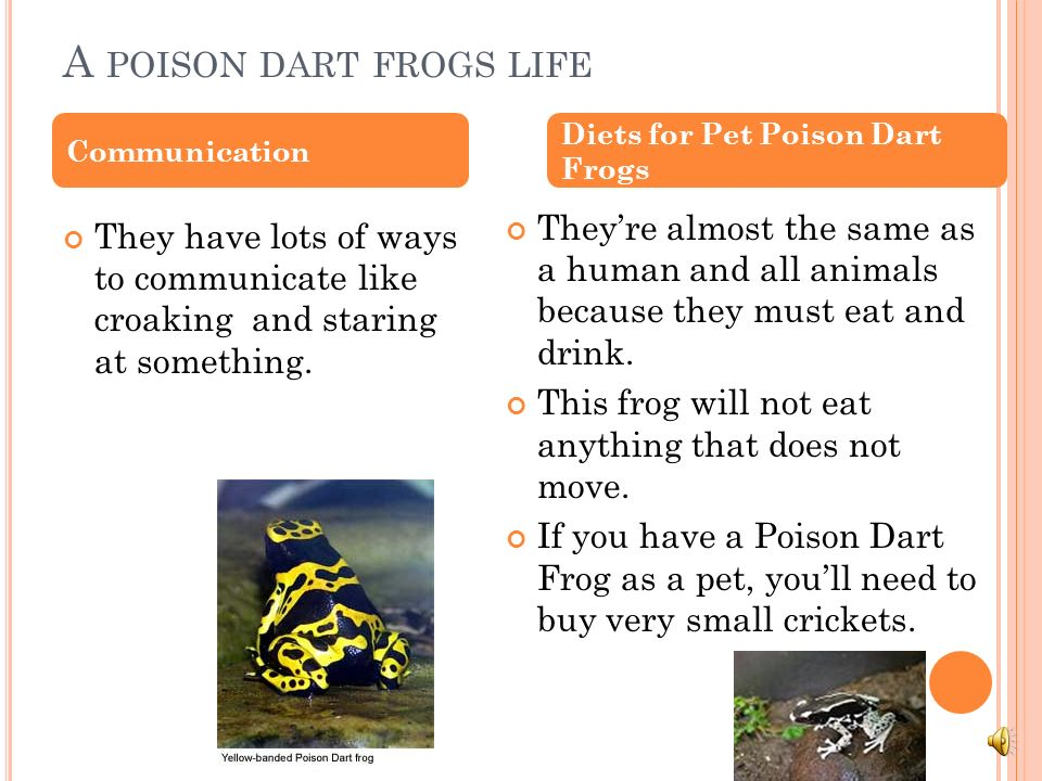 A poison dart frogs life