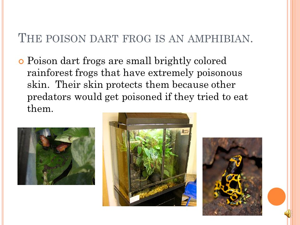 The poison dart frog is an amphibian.