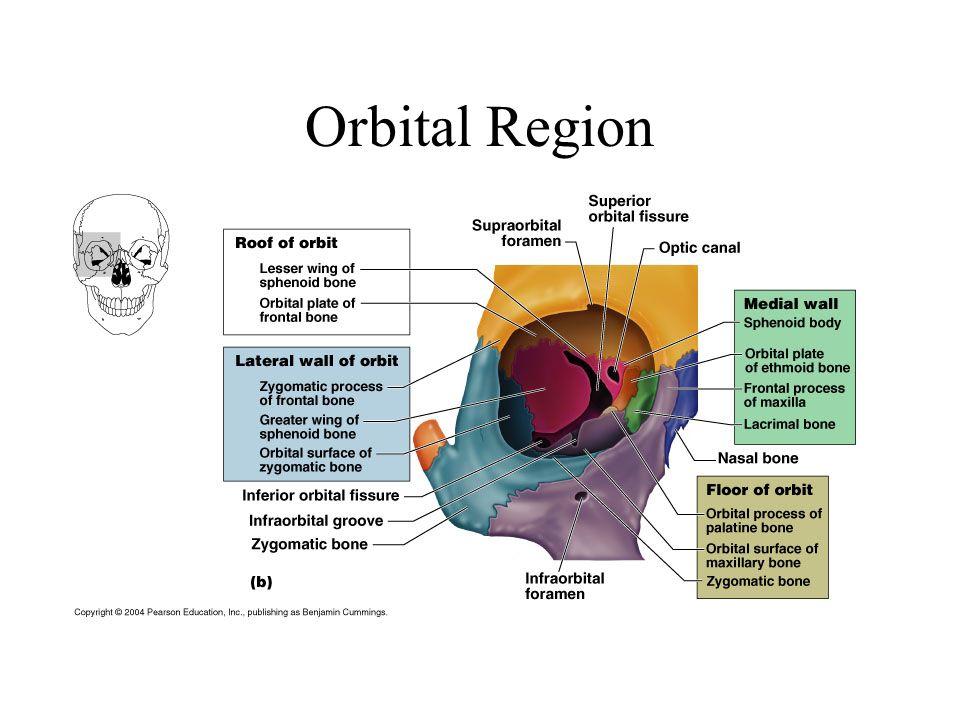 Orbital part of lesser wing