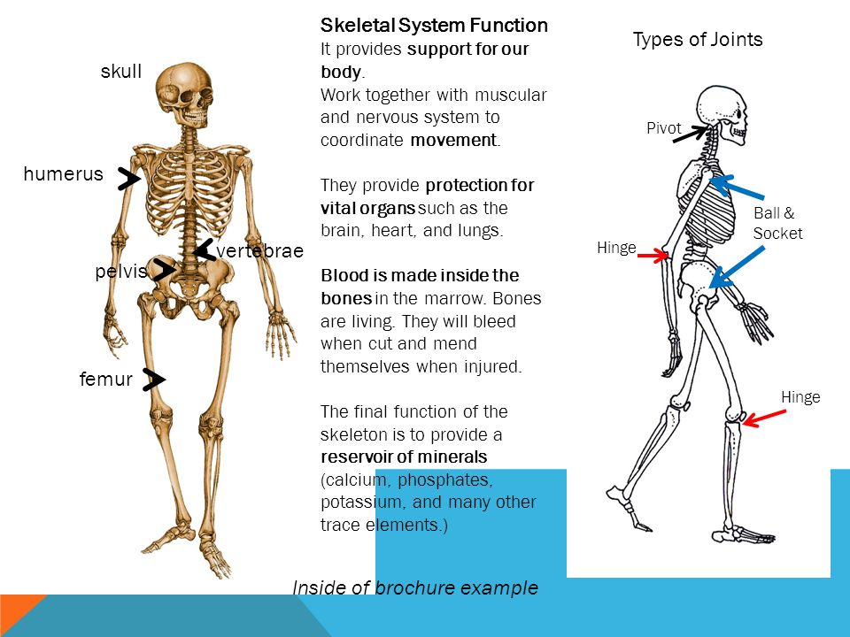 How The Skeletal System Works Ibovnathandedecker