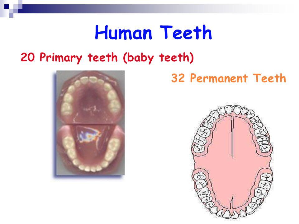 Human Teeth 20 Primary teeth (baby teeth) 32 Permanent Teeth