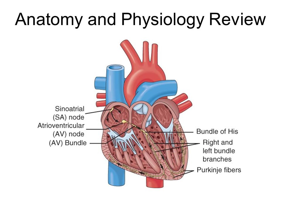 Fantástico Anatomy And Physiology Of The Heart Quiz Imágenes ...