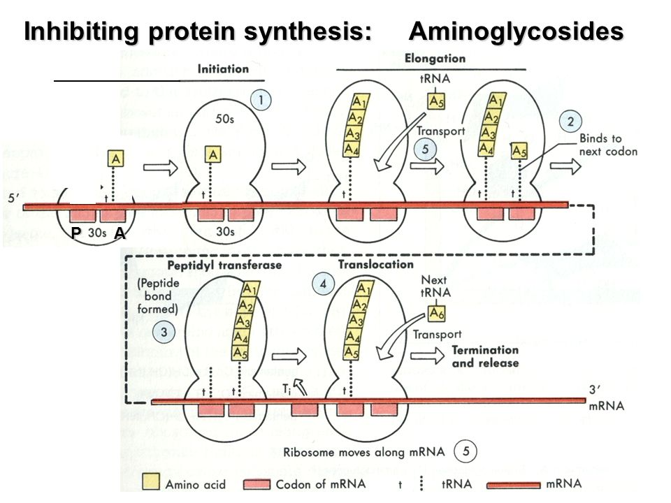 aminoglycosides & spectinomycin - ppt video online download, Skeleton