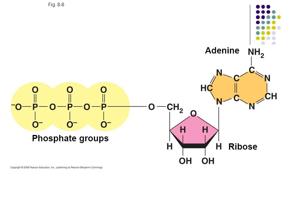Adenine Phosphate groups Ribose Fig. 8-8