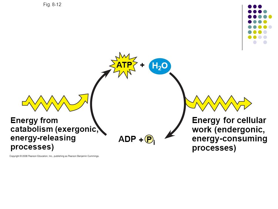+ H2O Energy for cellular work (endergonic, energy-consuming