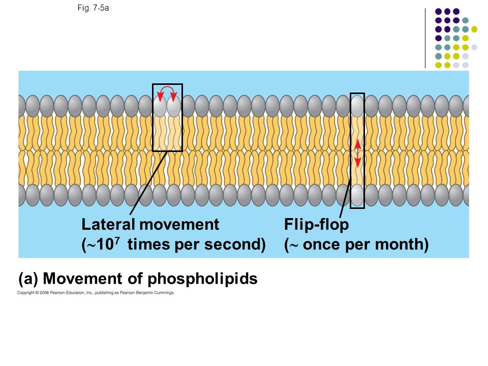 (a) Movement of phospholipids