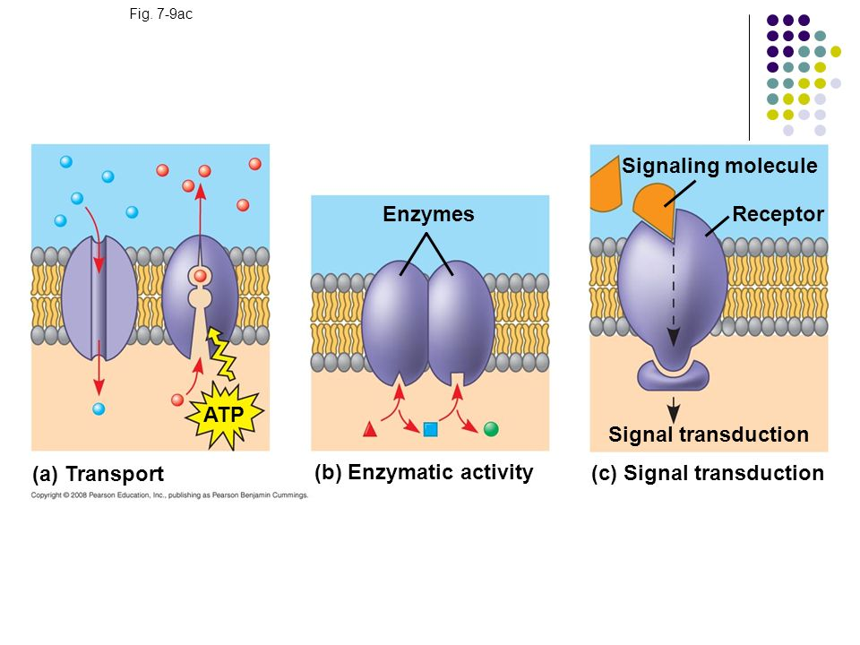 (b) Enzymatic activity (c) Signal transduction