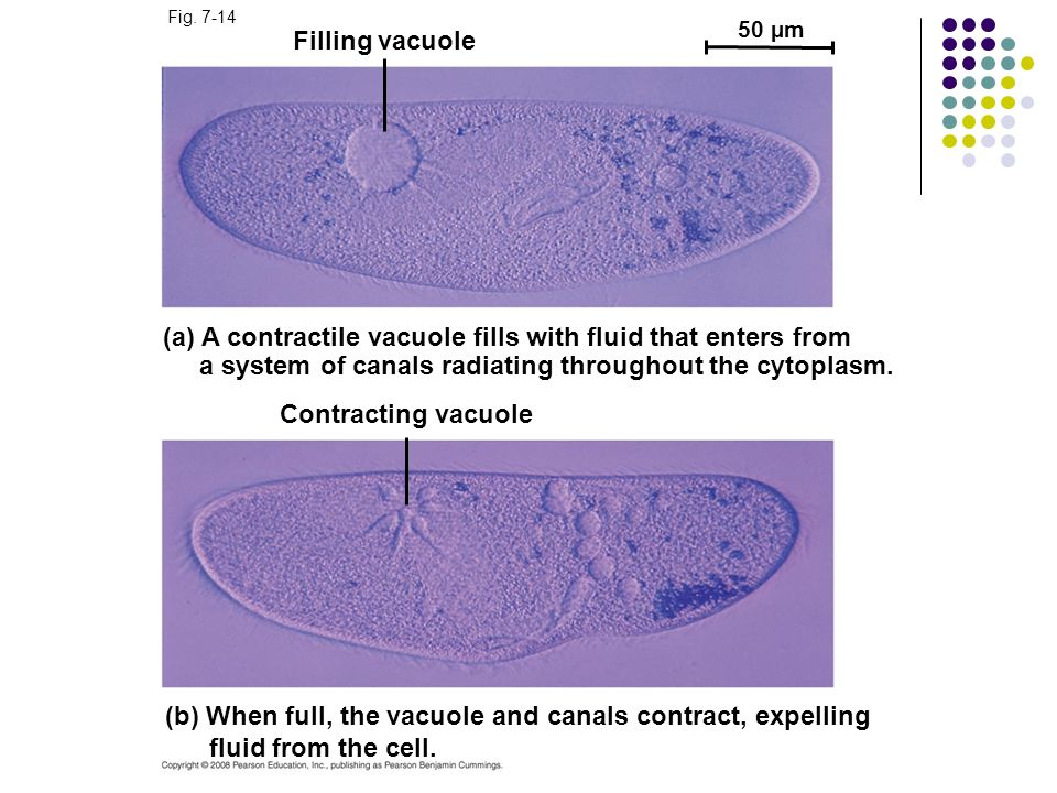(a) A contractile vacuole fills with fluid that enters from